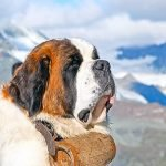 Q021 Featured Image is a St Bernard from the Flags and Dogs Picture Round